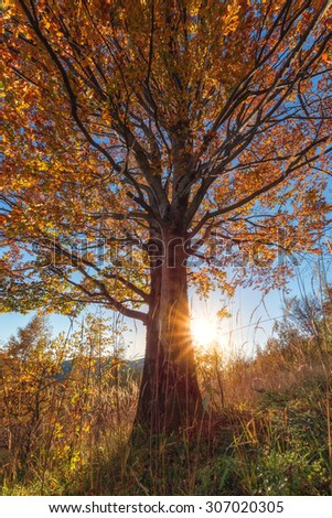 Majestic beech leaves with sunny beams at mountain valley. Dramatic colorful evening scene. Carpathians, Ukraine, Europe. - stock photo