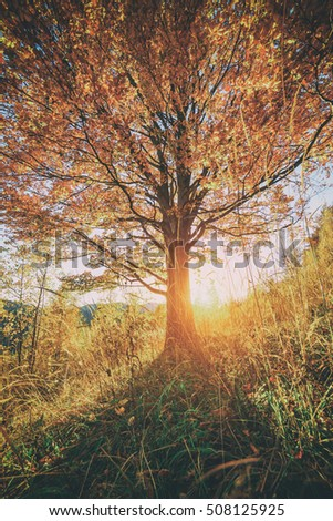 Majestic beech tree with sunny beams at mountain valley. Dramatic colorful evening scene. Carpathians, Ukraine, Europe. Toned like Instagram filter
