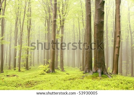 Majestic beech trees in the misty spring forest. Photo taken in May.
