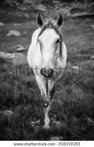 Majestic black and white horse portrait - stock photo