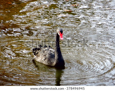 Majestic black swan in a lake near Moscow, Russia - stock photo