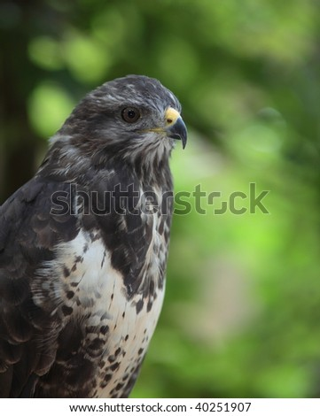 majestic common buzzard  (Buteo buteo)