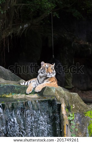 Majestic crouching tiger looking at - stock photo