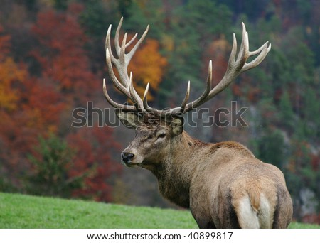 majestic deer on autumn background - stock photo