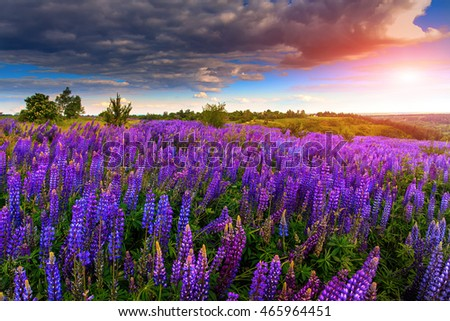 majestic dramatic scene. fantastic sunset over the meadow with flowers lupine and colorful clouds on the sky. picturesque rural landscape. color in nature. beauty in the world