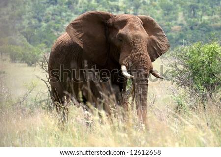 Majestic elephant in the Pilanesberg Reserve near Sun City (South Africa) - stock photo