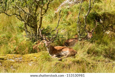Majestic European Red deer - stag (Cervus Elaphus) in native environment - stock photo