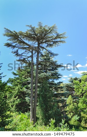 Majestic evergreen pine tree towering above other woodland trees against a blue sky with copyspace - stock photo