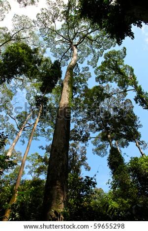 Majestic Giant Tropical Tree in Borneo, Malaysia! - stock photo