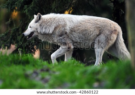Majestic gray wolf going for the kill stalking its prey at sun down - stock photo