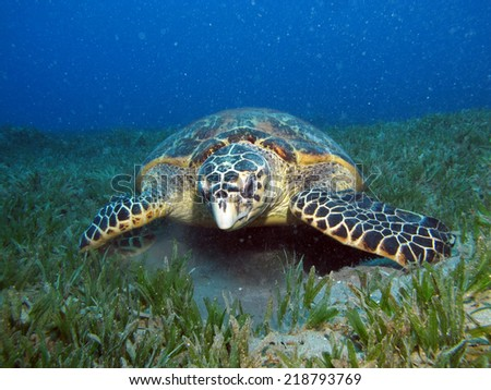 Majestic hawksbill turtle curious about something inside a car tire
