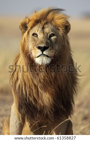 Majestic lion male with golden mane, Serengeti, Tanzania - stock photo