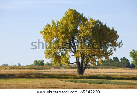 Majestic lone big cottonwood tree with autumn colors, in a field on the Colorado prairie. - stock photo
