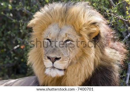 Majestic Male Lion resting in the sun