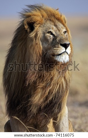 Majestic male lion squinting its eyes in the early sunlight, Serengeti, Tanzania, East Africa - stock photo