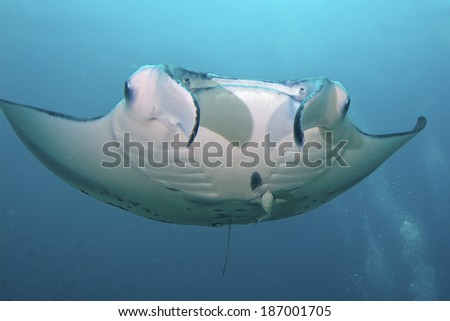 Majestic Manta flies through the water - stock photo