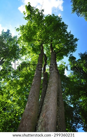 Majestic maple tree, summer forest. - stock photo