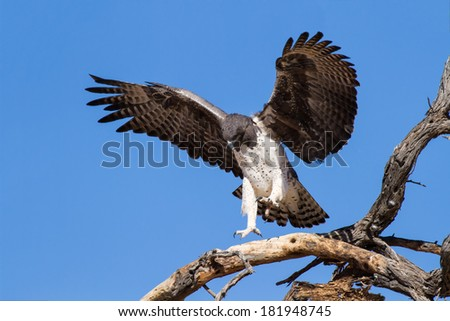 Majestic martial eagle landing in a dead tree after long flight in blue Kalahari sky - stock photo