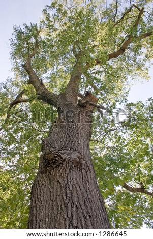 Majestic oak - stock photo