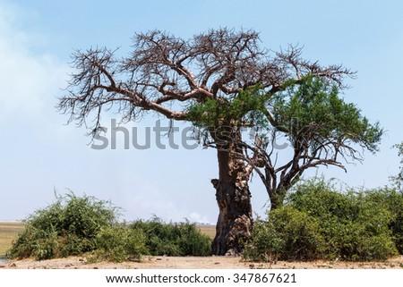 majestic old baobab tree (Adansonia digitata)) - Chobe, Botswana - stock photo