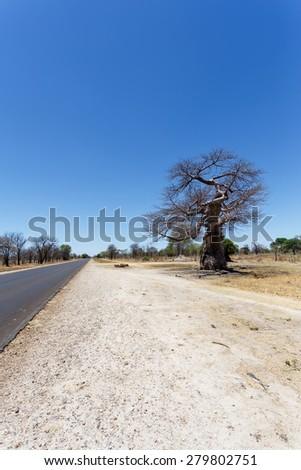 majestic old baobab tree (Adansonia digitata)) - Ngoma, Botswana Zimbabwe border - stock photo
