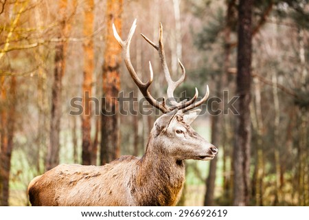 Majestic powerful adult male red deer stag in autumn fall forest. Animals in natural environment, beauty in nature. - stock photo
