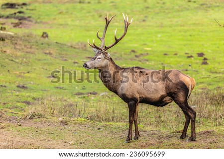 Majestic powerful adult male red deer stag on meadow. Animals in natural environment, beauty in nature. - stock photo