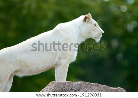 Majestic Queen Picture of a proud albino lioness with her front legs perched on top of a rock.   - stock photo