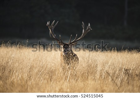 Majestic red deer stag cervus elaphus bellowing in open grasss field during rut season in Autumn Fall