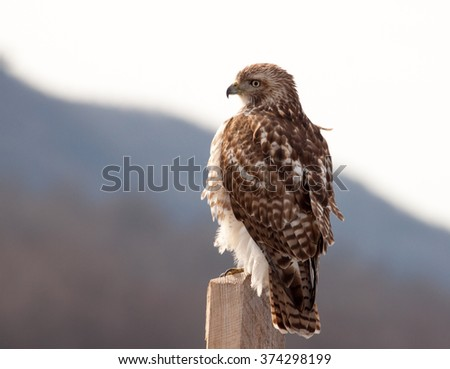 Majestic Red Tailed Hawk (Buteo Jamaicensis) perched on a wooden post with mountain range seen in background - stock photo