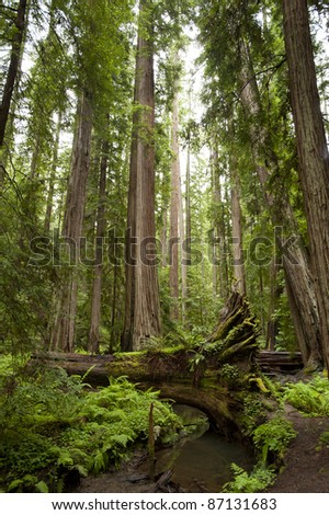 Majestic redwoods, one fallen across creek, California - stock photo