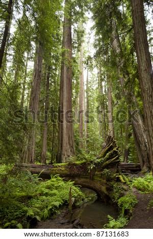 Majestic redwoods, one fallen across creek, California - stock photo