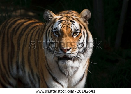 Majestic Siberian Tiger - stock photo
