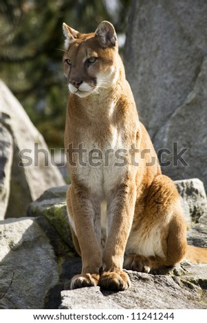 Majestic, Stately Powerful brown and white Mountain Lion, Cougar, sitting and looking for action - stock photo