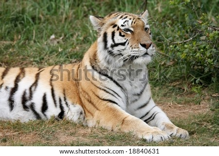 Majestic striped tiger lying on the grass - stock photo