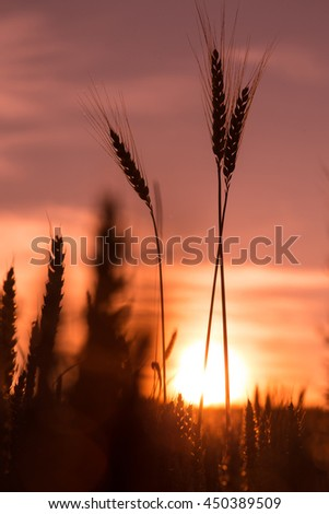 majestic sunset over a field of wheat. slender spikes influenced the blinding sun on a background of pale pink sky. concept rich harvest. lighting effects with natural bokeh. Beauty in the world - stock photo