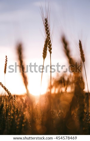 majestic sunset over a field of wheat. slender spikes influenced the blinding sun on a background of pale blue sky. concept rich harvest. lighting effects with natural bokeh. Beauty in the world - stock photo