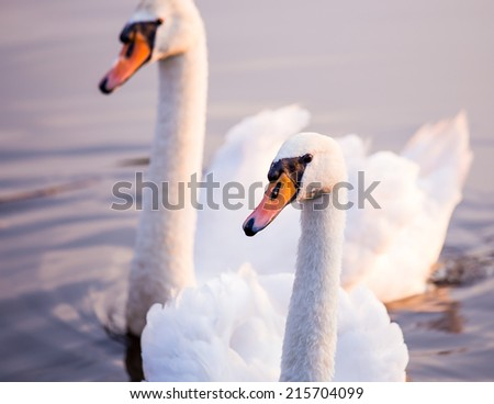 Majestic swans floating on the water surface - stock photo