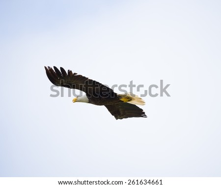 Majestic Texas Bald Eagle in flight isolated on a clear nearly white background - stock photo