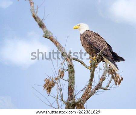 Majestic Texas Bald Eagle perched on a tree - stock photo