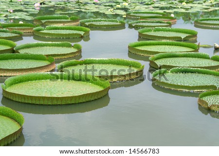 Majestic water lily pads