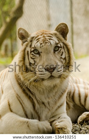 Majestic White Bengal Tiger stares intensely at the camera - stock photo