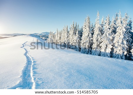 Majestic white spruces glowing by sunlight. Picturesque and gorgeous wintry scene. Location place Carpathian national park, Ukraine, Europe. Alps ski resort. Beauty world. Blue toning. Happy New Year!