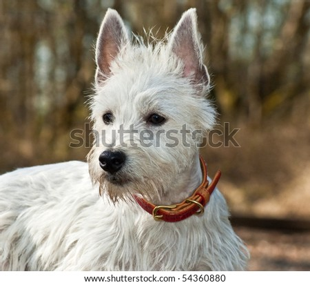 Majestic White West Highland Terrier Dog Portrait Outdoors - stock photo
