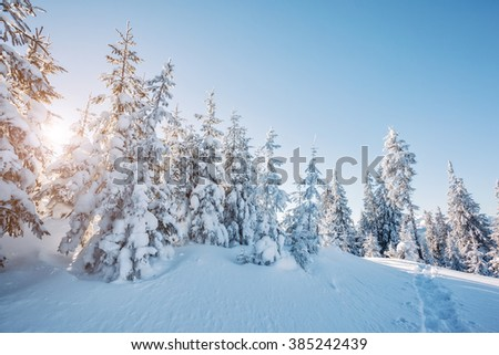 Majestic winter trees glowing by sunlight. Dramatic wintry scene. Place location Carpathian national park, Ukraine, Europe. Alps ski resort. Beauty world. Blue toning effect. Happy New Year!
