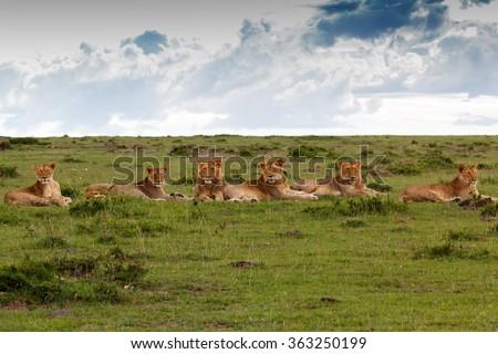 Maji Ya Fisi Pride, four males and three females, in Masai Mara, Kenya - stock photo