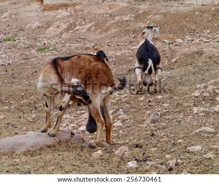 Majorera goat (cabra majorera) at a goat milk cheese farm near Llapus de la conception on the island Fuerteventura one of the Canary island in the Atlantic Ocean belonging to Spain - stock photo