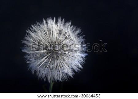 Make a wish dandelion bloom - stock photo