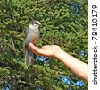 Making friends: Alaskan grey jay sitting on a person's hand with spruce trees in the background - stock photo