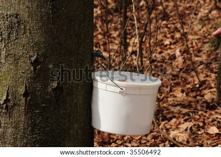 Making maple syrup - bucket used to catch sap for maple syrup - stock photo